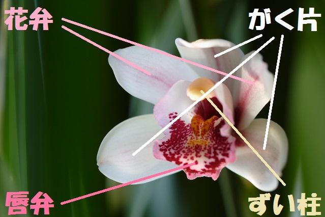 シンビジウムの花の構造