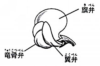 マメ科花の構造