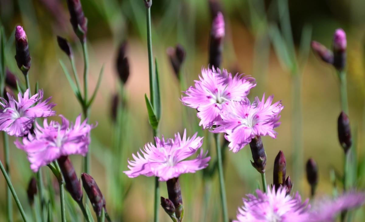 ナデシコピンク花