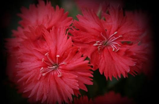 ナデシコ赤花