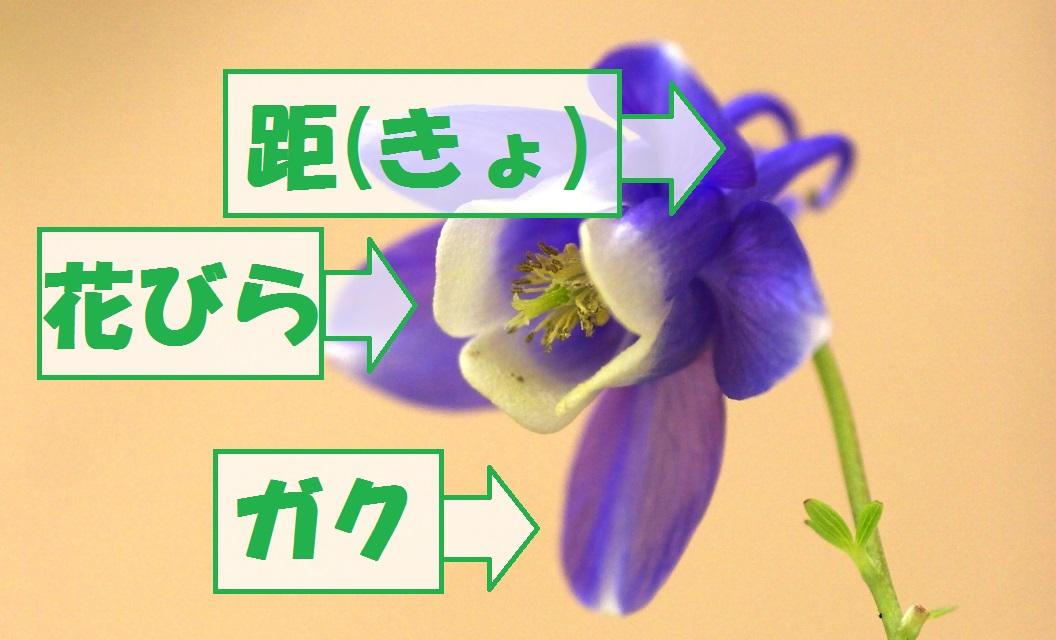 オダマキ花の構造