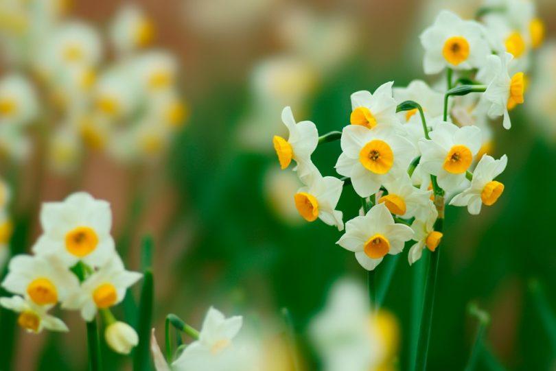 「水仙の花」の検索結果 - Yahoo!検索(画像)