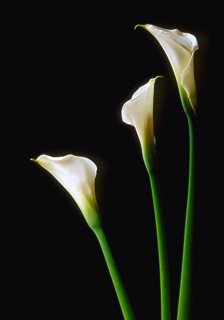 カラー(花)