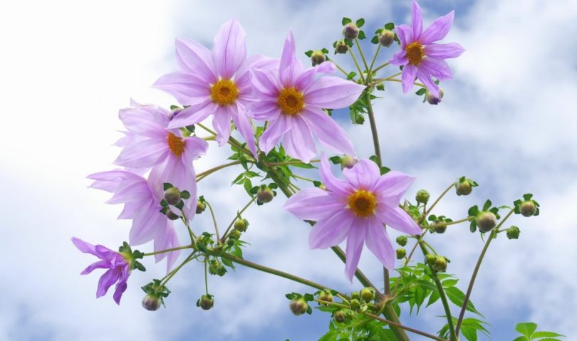 皇帝ダリアの花言葉/木枯らし吹く季節に開花する\u201c萌え\u201dダリア
