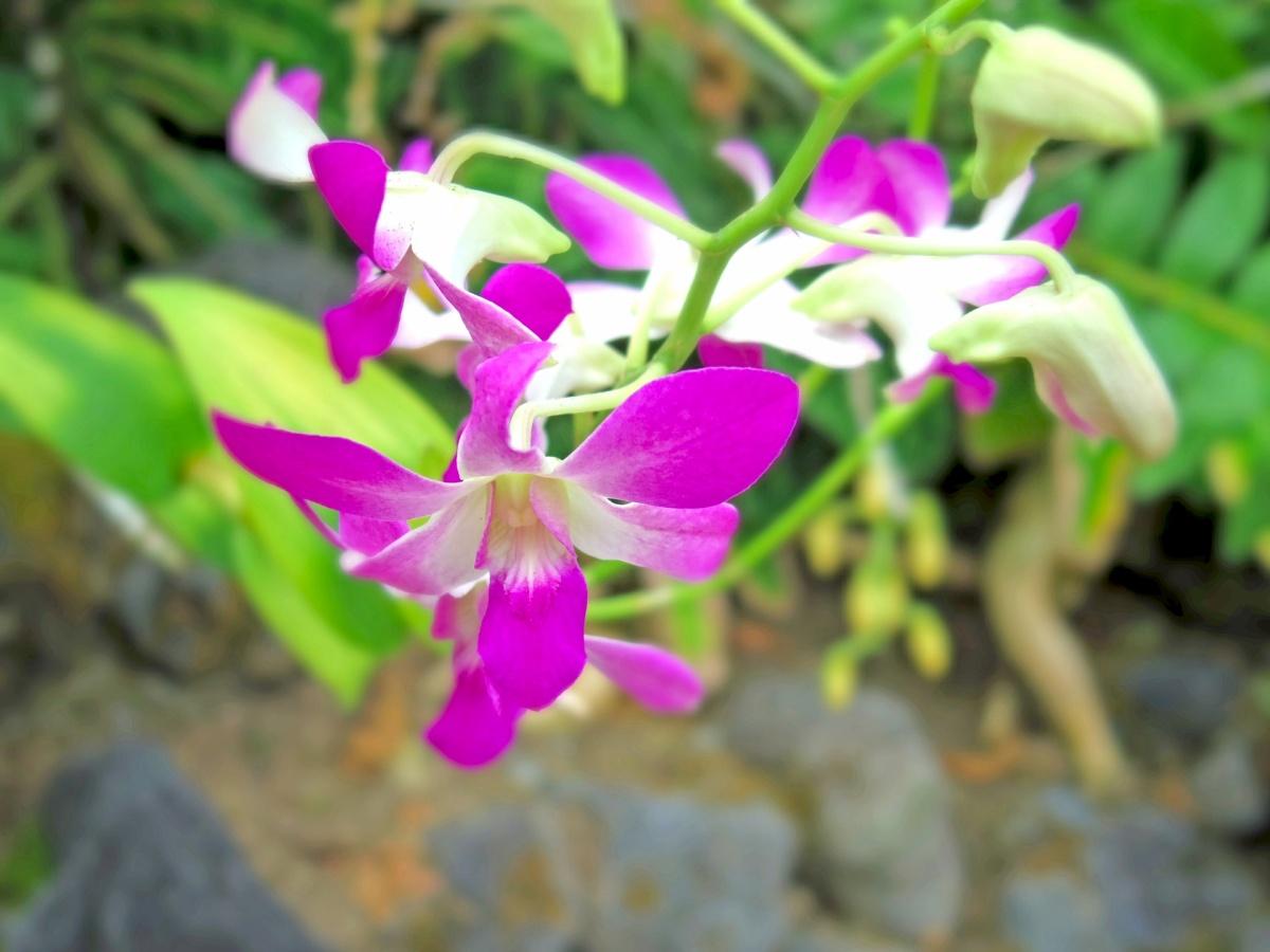 デンファレ紫花