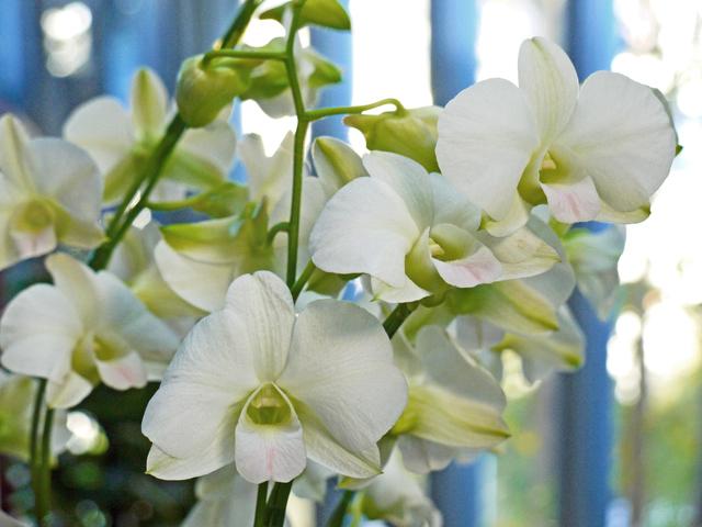 デンファレ系白花
