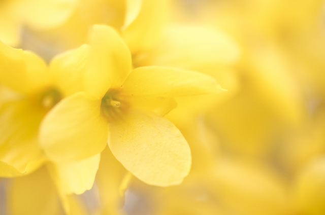 レンギョウ花