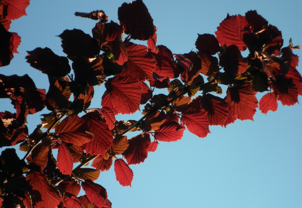 ハシバミの紅葉