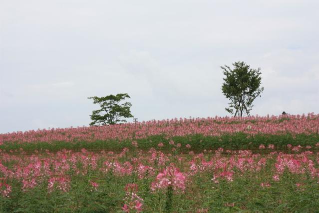 クレオメ花畑