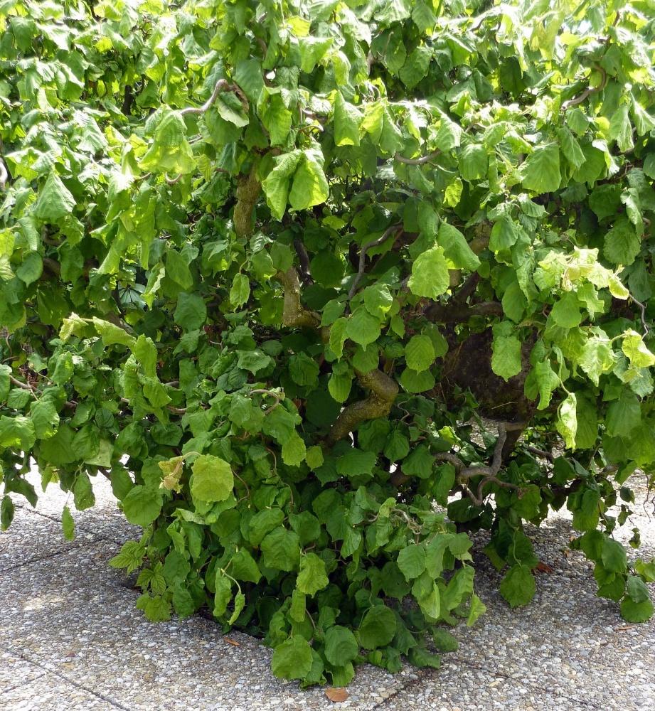 ハシバミの木