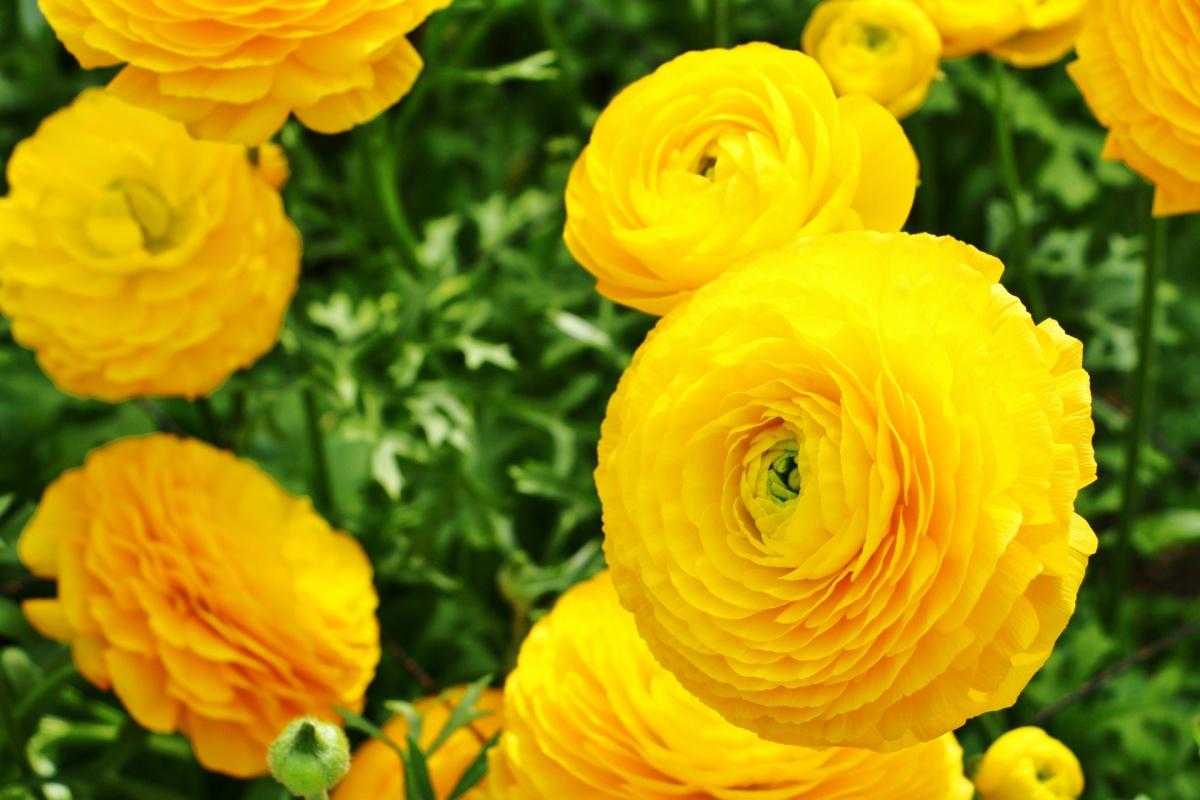 ラナンキュラス黄