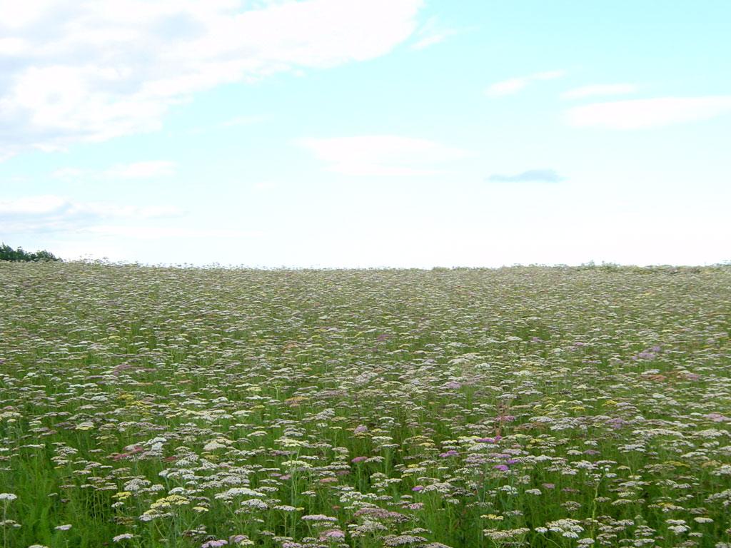 北海道ノコギリソウ畑