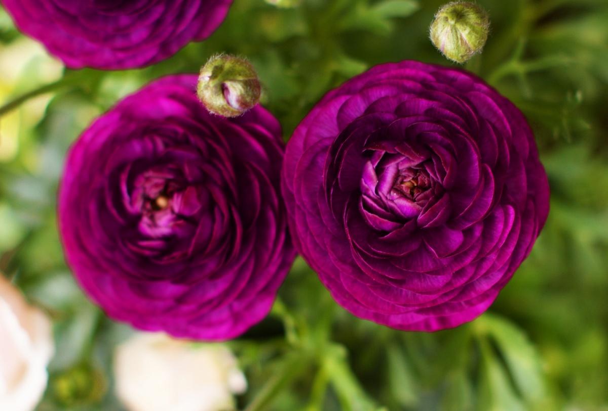 ラナンキュラス紫
