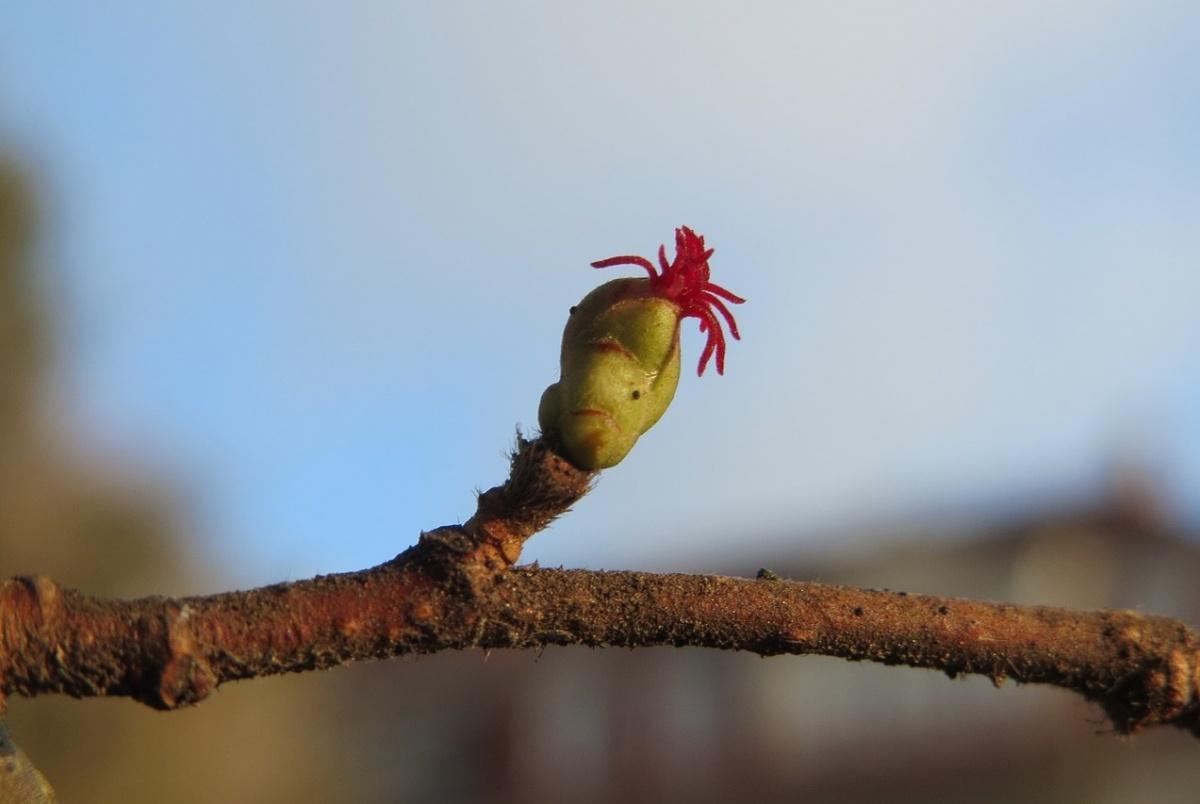 ハシバミの雌花