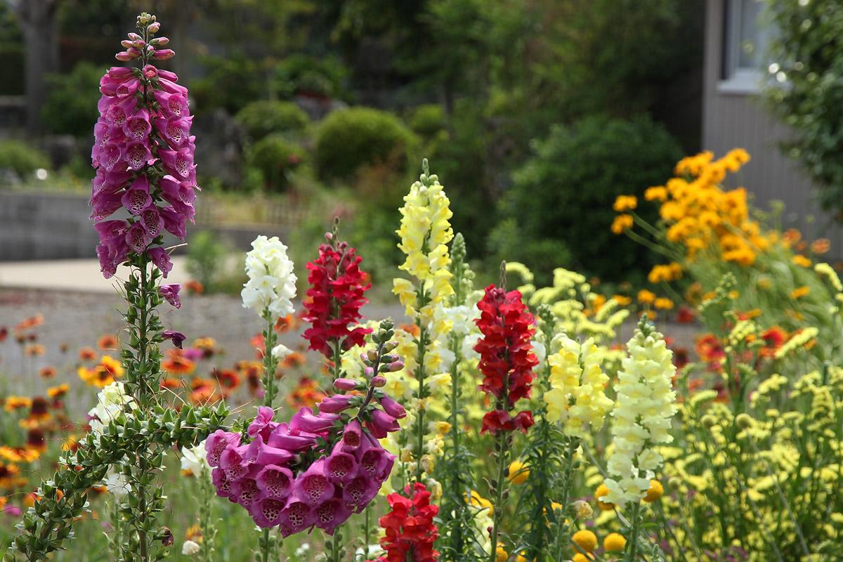 ジギタリスの花壇