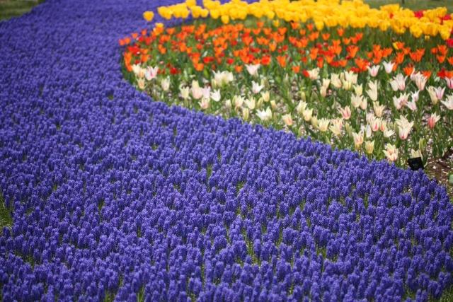 ムスカリ花畑