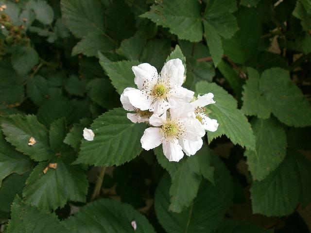 ブラックベリー・花