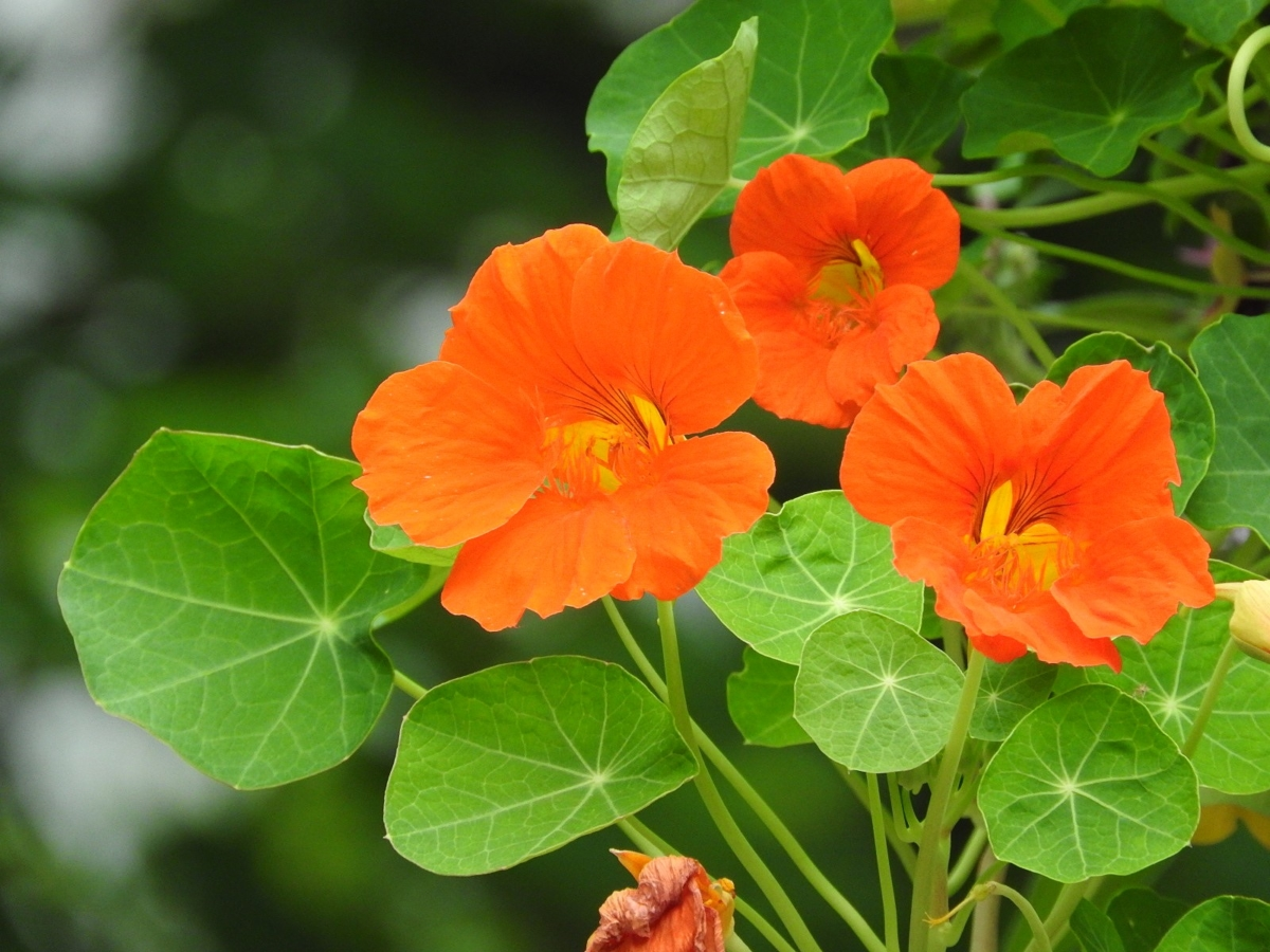 キンレンカ花と葉