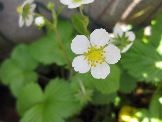 野イチゴ・花