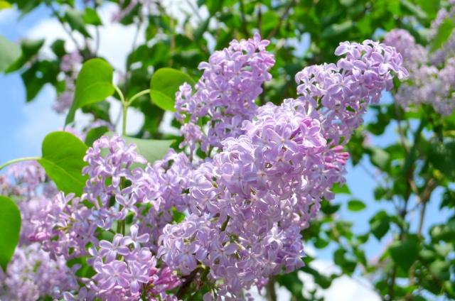 ライラック紫
