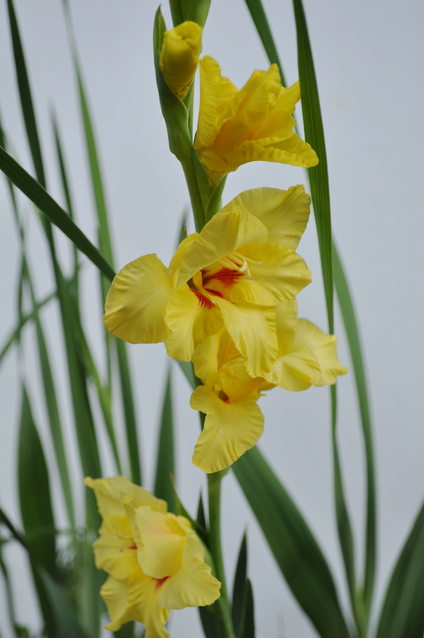 黄花のグラジオラス