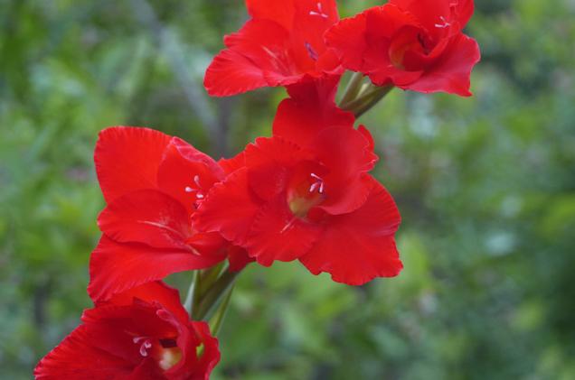 赤花のグラジオラス