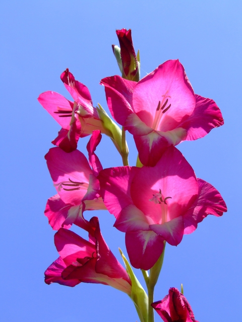 ピンクの花のグラジオラス
