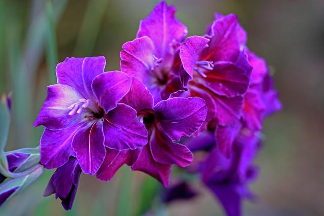 紫花のグラジオラス