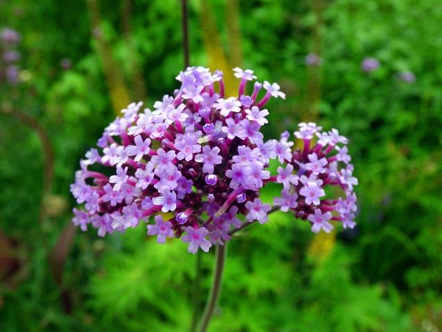 バーベナ紫