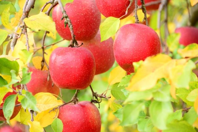 りんご果実