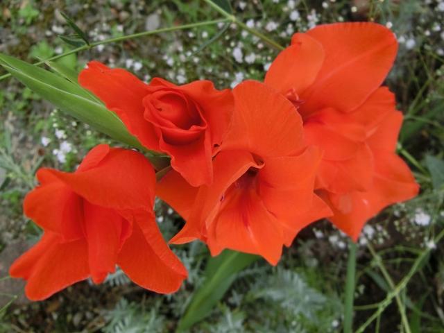 オレンジ花のグラジオラス