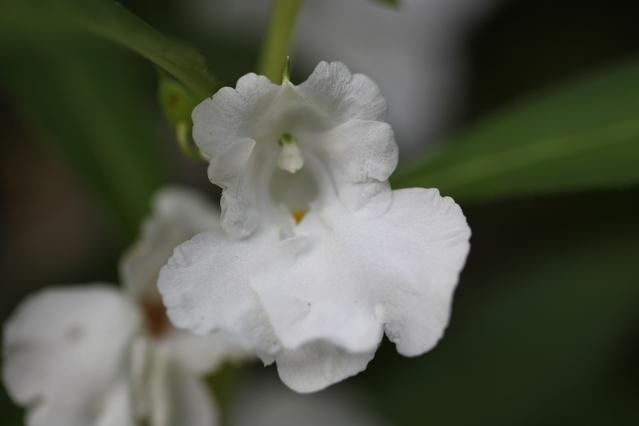 キンギョソウ白花