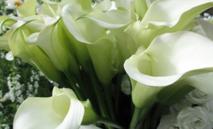 カラーの花言葉/白だけじゃない。カラフルカラーは清楚で大胆!