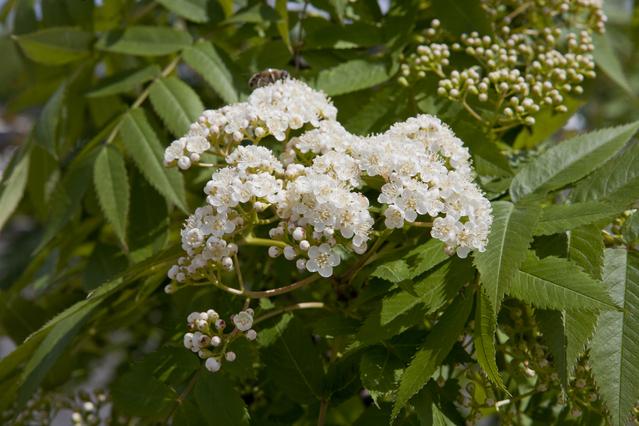 ナナカマド花