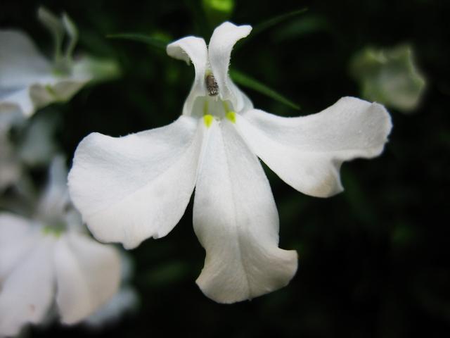 ロベリア花アップ