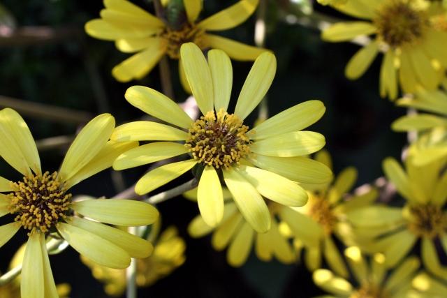 ツワブキの花のアップ