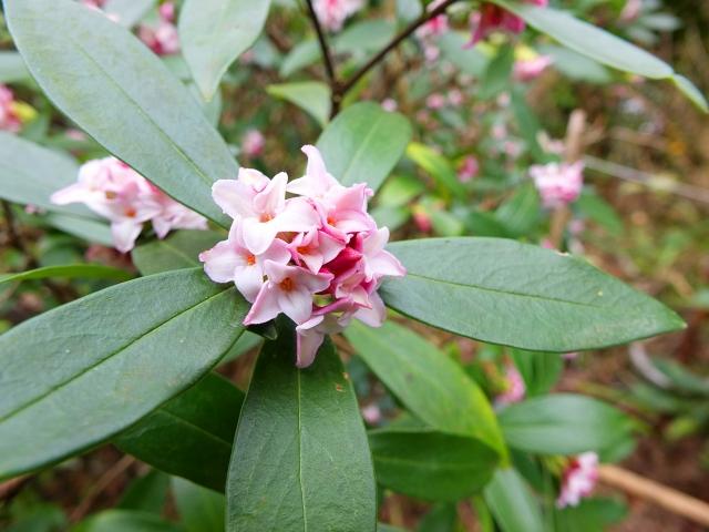沈丁花・葉と花
