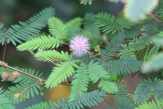 オジギソウ花と葉