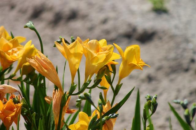 フリージア黄花