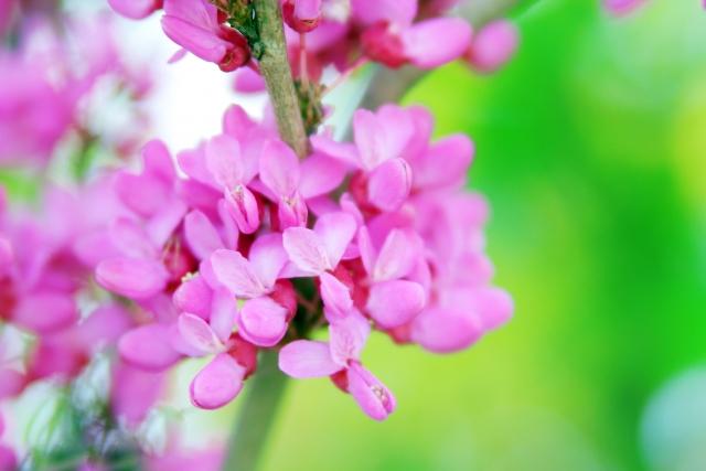 ハナズオウ花