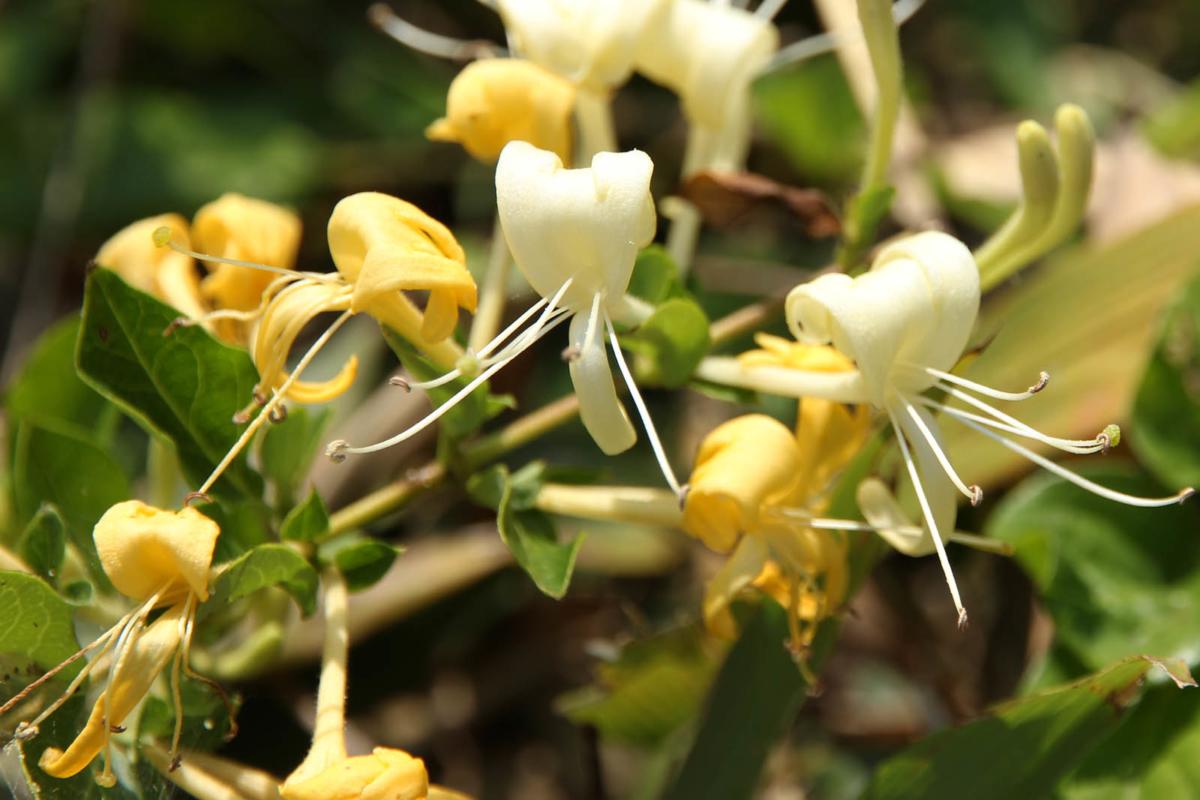 スイカズラ花