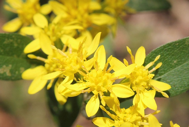 アキノキリンソウの花言葉/「気を付けて」の心遣いを伝える花 | 花 ...