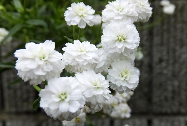 フクロナデシコ八重咲