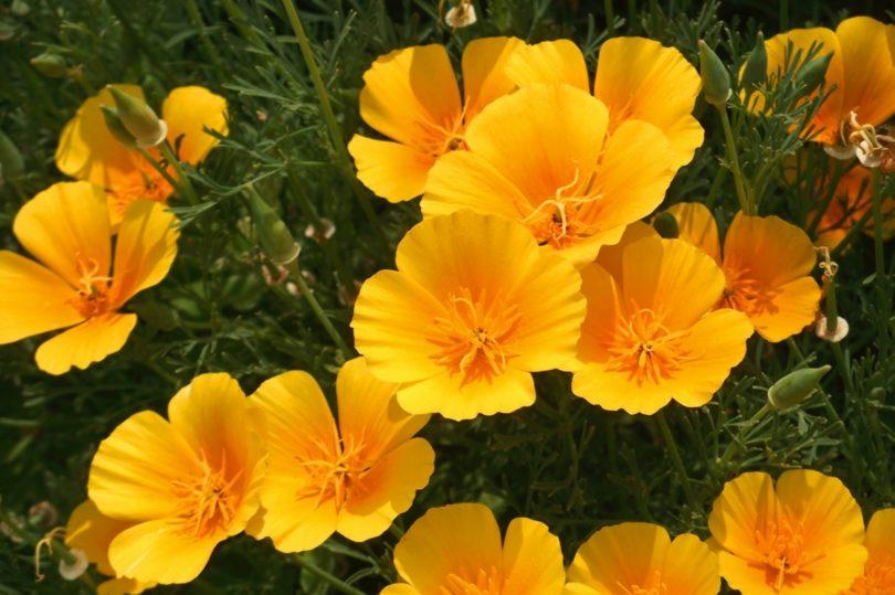 ハナビシソウの花言葉/西部の荒野の春を埋め尽くす黄金の花 – 花言葉 ...