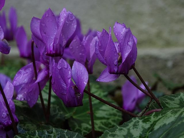 シクラメン紫
