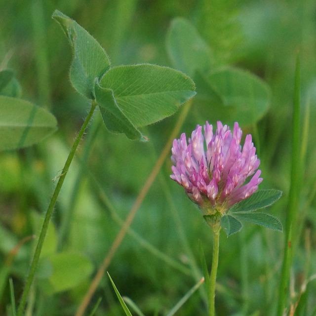 アカツメクサ花と葉
