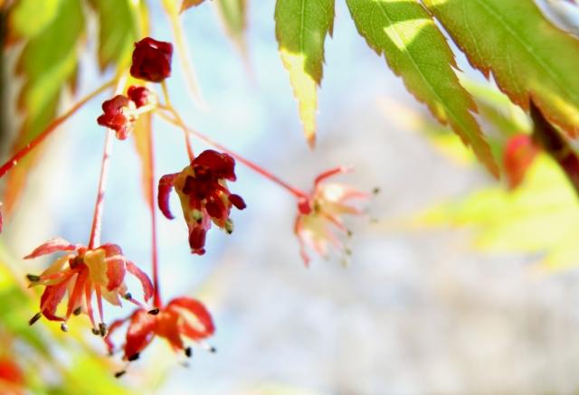 カエデの花2