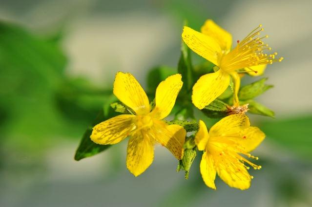 オトギリソウ花