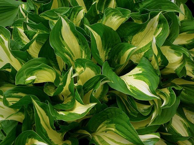 ギボウシの葉1