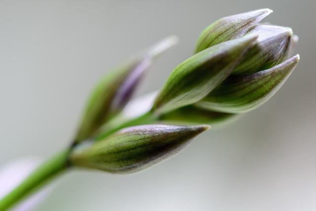 ギボウシ先端の花芽